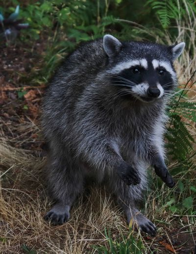 Animal Themes Animal Animal Wildlife Animals In The Wild Mammal Raccoon One Animal Nature No People Land Plant Vertebrate Day Field Outdoors Portrait Forest Close-up