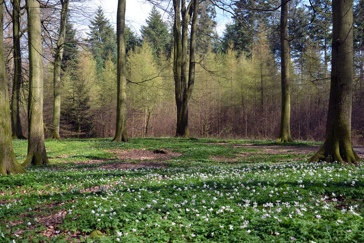 Spring forest Beauty In Nature Day Forest Forest Floor Forest Photography Forest Trees Freshness Full Frame Green Color Growth In The Woods Landscape Nature No People Outdoors Plant Spring Forest Tranquil Scene Tranquility Tree Tree Trunk White Anemone White Flowers Wood Anemone