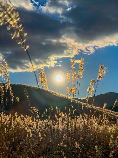 風にゆらゆら。That is shaking from the wind. Pampas Grass Backlight Sunset Silhouettes Sunset Sky Nature No People Growth Plant Beauty In Nature Sun Field Outdoors Grass Low Angle View Landscape Flower Sunset Scenics Day