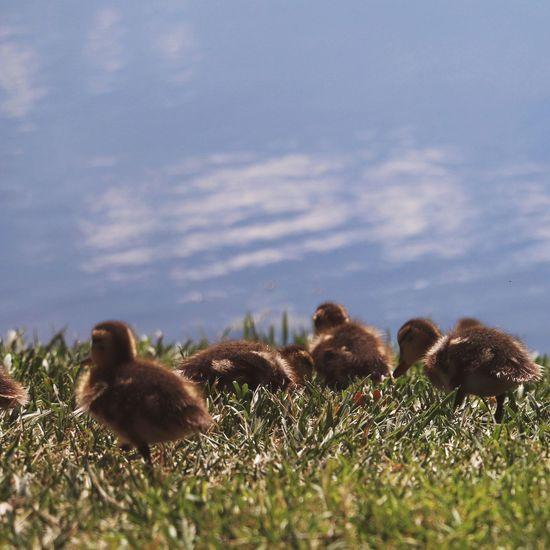 Duckling Baby Animals Cute