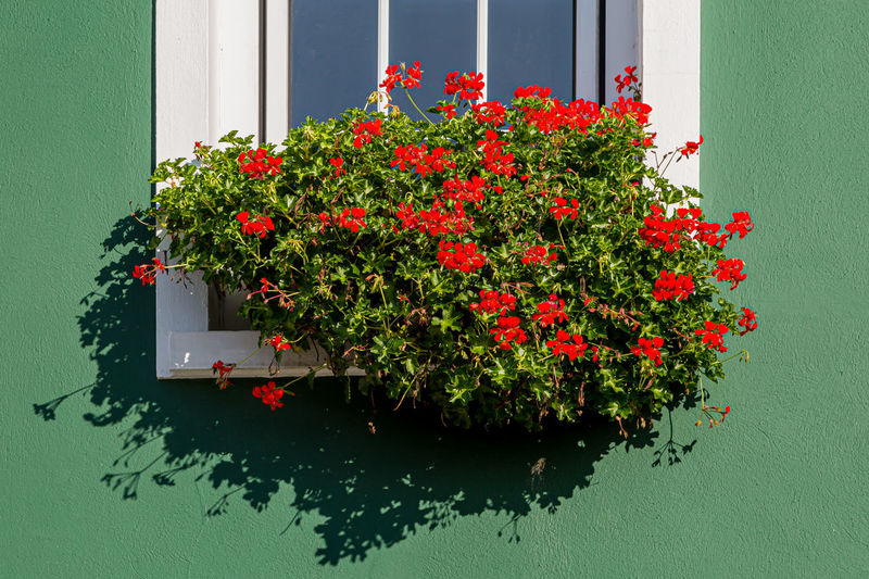 Red flowering plants against wall