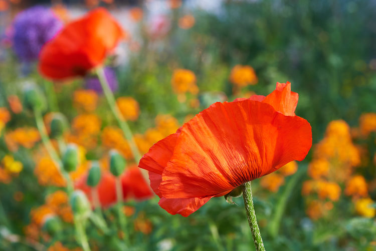 Beautiful red poppy flowers in the garden Poppy Red Field Papaver Rhoeas Flower Corn Summer Bloom Nature Spring Blossom Green Meadow Plant Background Garden Flowers Beautiful Rosé Blooming Floral Flora Idyllic Beauty Color Papaveraceae Day Petal Grow Common Sun Sunshine Natural Outdoors Landscape Flowering Plant Fragility Vulnerability  Beauty In Nature Growth Freshness Flower Head Close-up Focus On Foreground No People Plant Stem Orange Pollen Orange Color