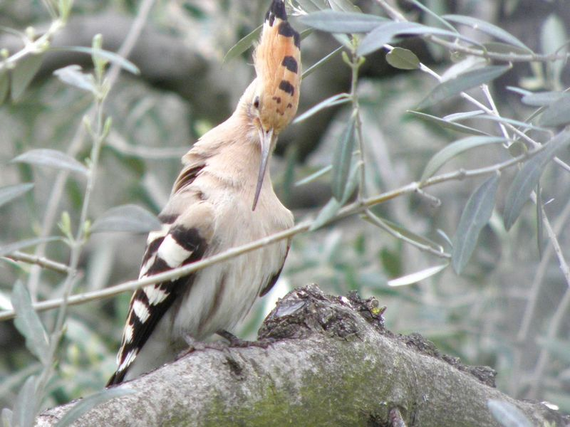 Animal Themes Bird One Animal Animals In The Wild Perching Low Angle View Branch Tree Nature Animal Wildlife Hoopoe Bird Photography Birdwatching Birds Wildlife Olive Treeno people]]oOutdoorsdClose-upors close-up