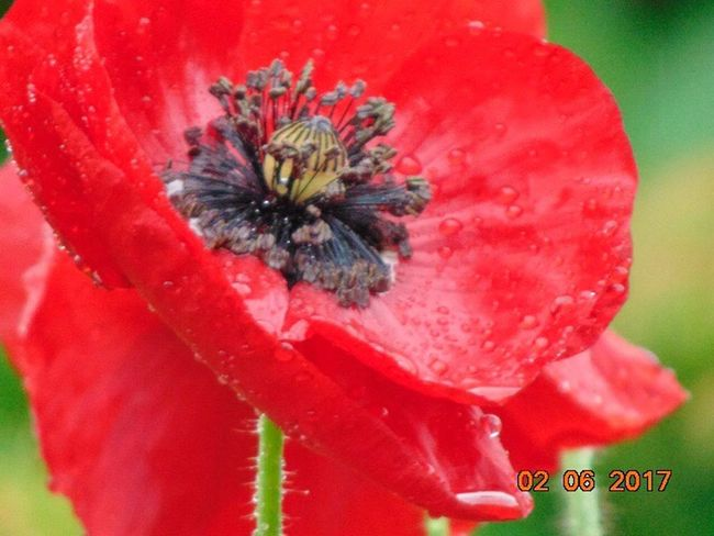 Flower Red Fragility Petal Flower Head Growth Freshness Nature Beauty In Nature Close-up Plant Day No People Blooming Outdoors St Agnes Poppy Flowers