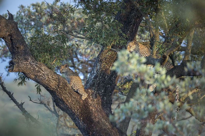 Leopard and cub sitting on tree trunk