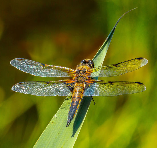 Four spotted chaser Animal Animal Body Part Animal Eye Animal Themes Animal Wildlife Animal Wing Animals In The Wild Beauty In Nature Close-up Day Dragonfly Focus On Foreground Four-spotted Chaser Green Color Insect Invertebrate Nature No People One Animal Outdoors Plant Zoology