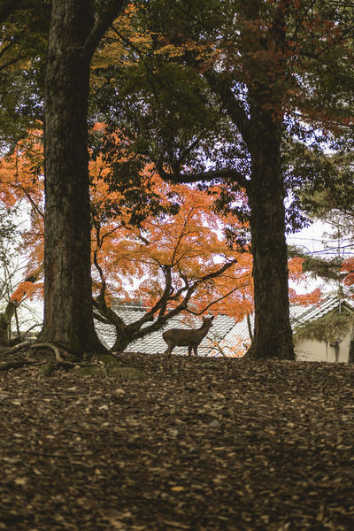 Lonely deer in Nara Park, Japan Autumn Colors Autumn Leaves Deer Deer Park Nara Park Animal In The Forest Animal Shadows Animal Silhouette Autumn Autumn Color Autumn Nature Bambi Deer In The Forest Deer Silhouette Forest Green Forest Nature No People One Animal Outdoors Tranquil Scene Tranquility Tree Wild Deer EyeEmNewHere