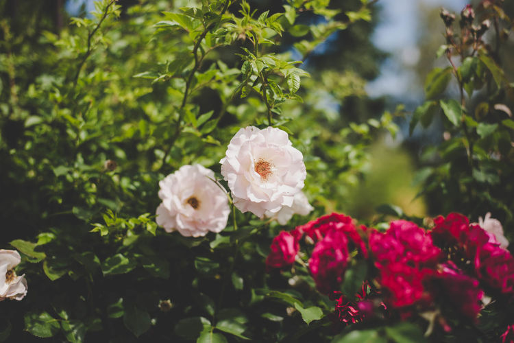 White and red roses bud Beauty In Nature Blooming Close-up Day Flower Flower Head Fragility Freshness Friendship Growth Nature No People Outdoors Plant Rosé