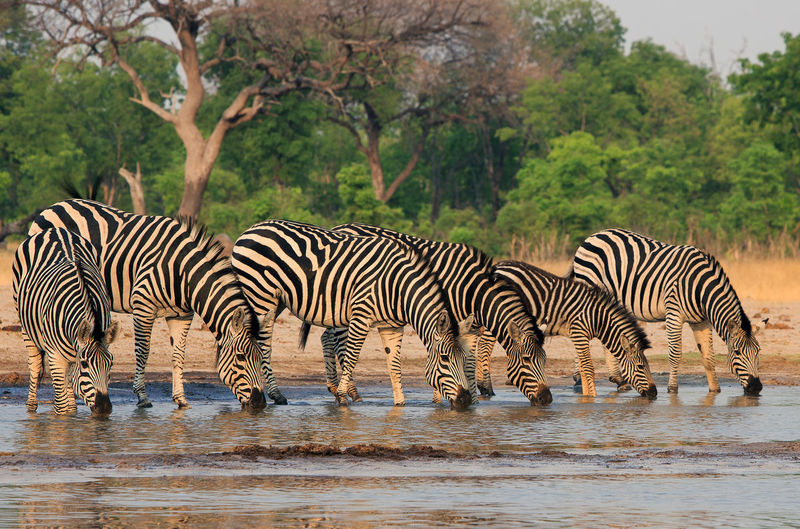 Line of Zebra drinking from a waterhole with heads down Animal Wildlife Animals In The Wild Animal Themes Animal Striped Group Of Animals Zebra Mammal Water Safari No People Drinking Nature Drink Waterfront Herbivorous Herd Hwange National Park Wildlife Photography Wildlife & Nature