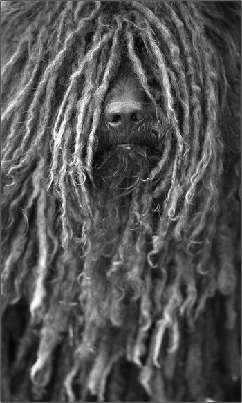 A dog with dreadlocks. Black And White Street Photography Fashion HUMOR ON EASTER Humor In Nature Animal Themes Black And White Black And White Collection  Close-up Day Dog Photography Fashion Hair Fashion Model Fashion&love&beauty Fashionphotography Full Frame Hairstyle Humor Animal Humor 😂😂😂😂 Indoors  Mammal No People Wool