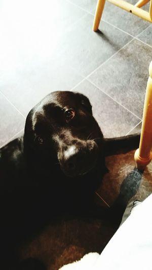Dog Cute Pet Labrador Puppydogeyes Love Domestic Animals Bestfriend Animal Themes Indoors  Begging Beautiful Blacklab Themeyes Eyes The Week On EyeEm
