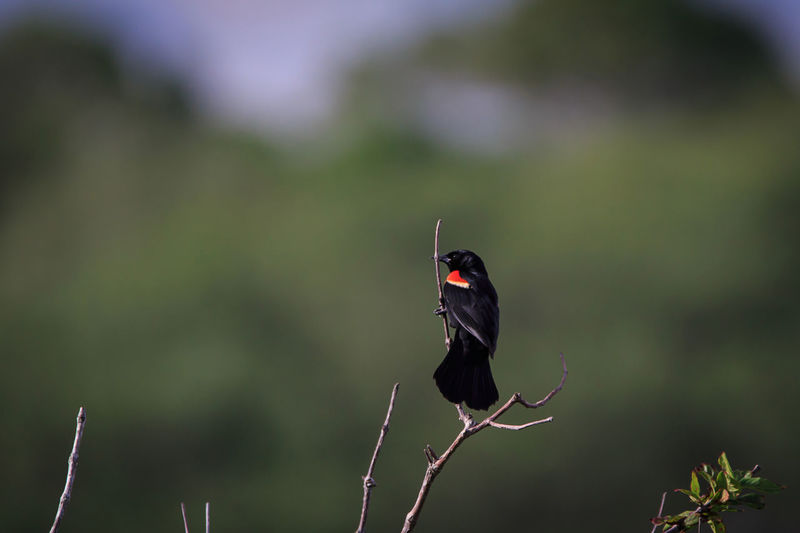 Red Winged Blackbird Animal Animal Themes Animal Wildlife Animal Wing Animals In The Wild Beauty In Nature Bird Black Color Butterfly - Insect Day Focus On Foreground Insect Invertebrate Nature No People One Animal Outdoors Perching Plant Stick - Plant Part Vertebrate Zoology