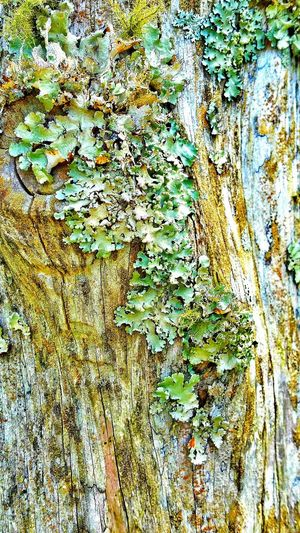 Lichen On A Tree Lichens Lichen Beauty Moss Moss & Lichen Moss Covered Tree Growths Growths On Tree Old Tree Old Log Old Pole Beauty In Nature Nature Photography Nature Plants Weeds Rotten Wood Natures Diversities Outdoor Trees Collection Trees Of Eyeem Tree Porn Diversity Diversity In Nature Up Close