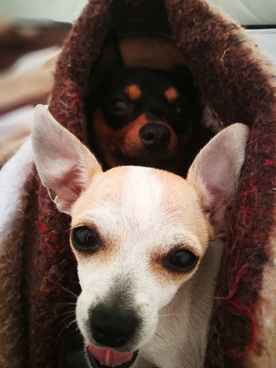 My live Dogs Baby Nature Hanging Out Chihuahua Chihuahualovers