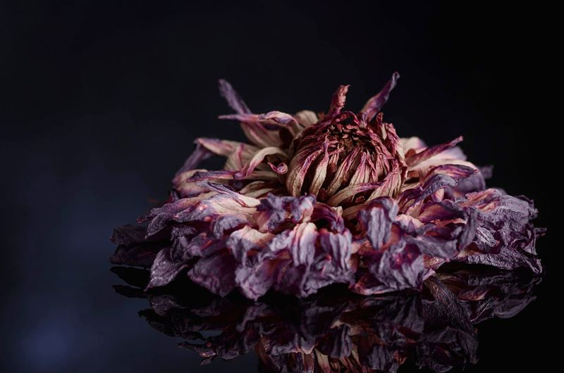 Close-up of wilted flower in dark
