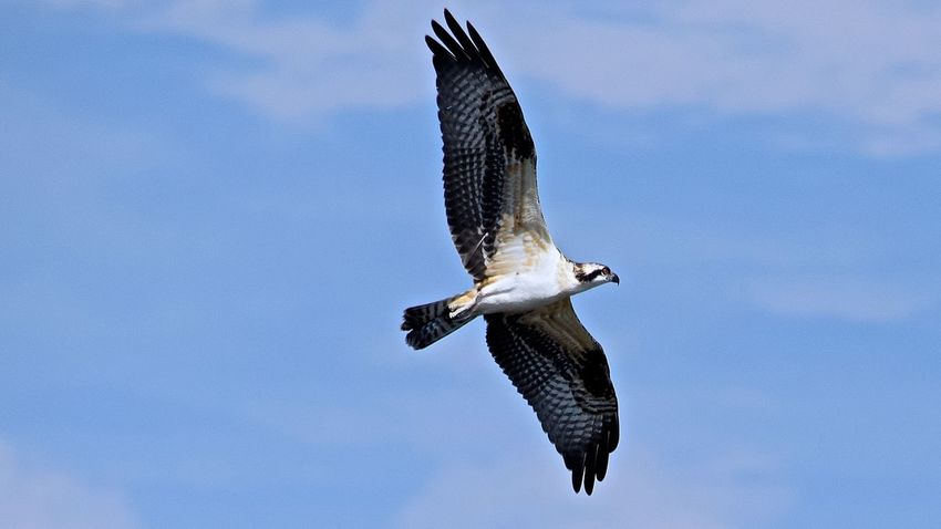 Beautiful Osprey #osprey #capecod #birdlovers #nature #birdof Blue Day Low Angle View Nature No People Osprey  Outdoors Palm Harbor, FL Sky Wall Springs Park