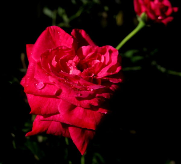#RotterdamUnlimited2016 #roses #flower #rosesforzoe Beauty In Nature Blooming Close-up Flower Flower Head Fragility Freshness Growth Nature Night No People Outdoors Petal Plant Red