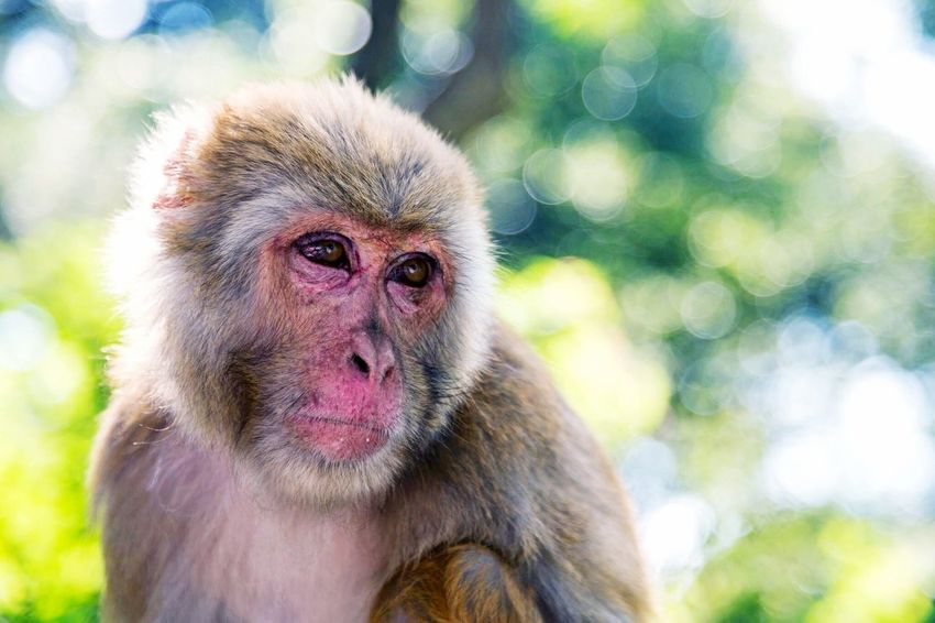 Animal Wildlife Monkeys Nepal Monkey Temple Portrait Bokeh Shallow Depth Of Field Aperture Priority 50 Mm F/1.8 Kathmandu Nepal Sunlight Headshot Wildlife Primate Highlights Eyes