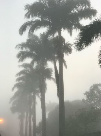 Tree Palm Tree Tree Trunk Growth Nature Low Angle View Outdoors Day No People Beauty In Nature Palm Frond Sky Leaf Branch Clear Sky Scenics Fog Lights Foggy Foggy Morning Foggy Day Light Light And Shadow Beauty In Nature Nature