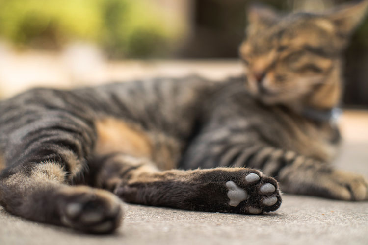 Animal Animal Themes Cat Close-up Domestic Domestic Animals Domestic Cat Feline Focus On Foreground Indoors  Lying Down Mammal No People One Animal Pets Relaxation Resting Selective Focus Surface Level Tabby Vertebrate Whisker