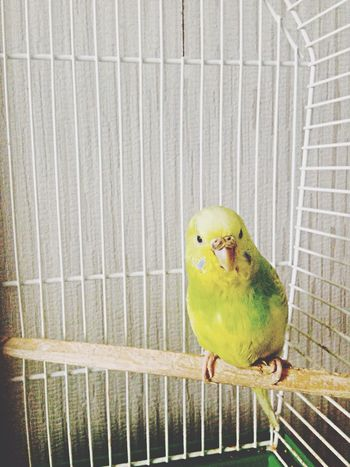 Budgies Parrot Yellow Hello