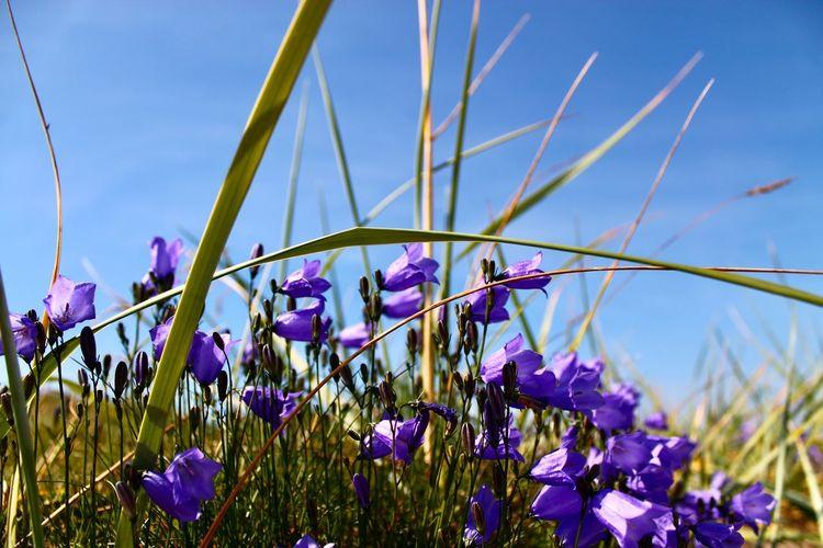 Close-up of purple crocus flowers growing in field