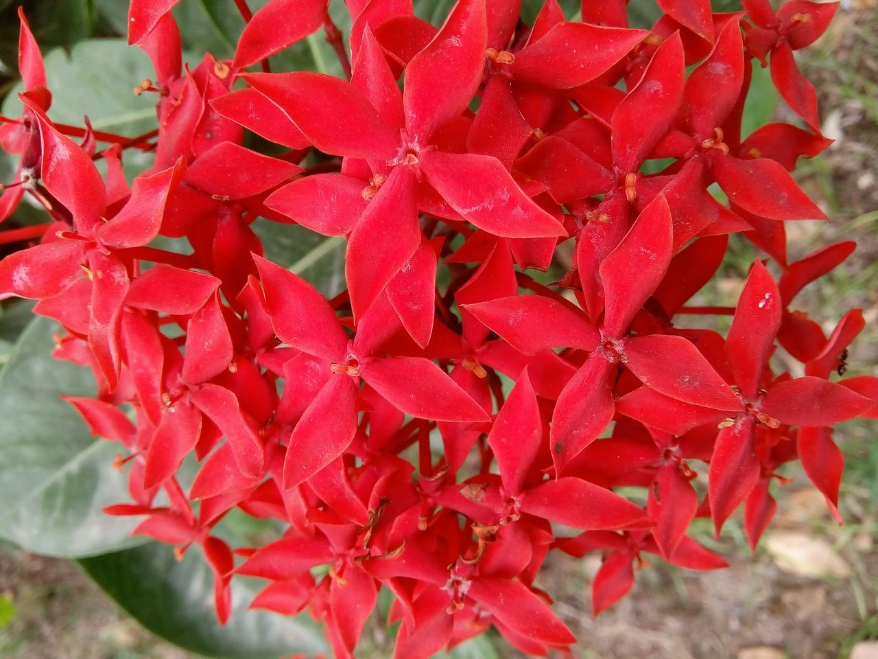 red, ixora, growth, beauty in nature, petal, day, nature, outdoors, flower head, flower, fragility, close-up, blooming, no people, freshness