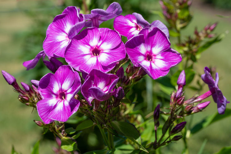 Garden Phlox (Phlox paniculata), flowers of summer Flowering Plant Plant Flower Vulnerability  Fragility Beauty In Nature Petal Growth Inflorescence Freshness Close-up Flower Head Focus On Foreground No People Day Nature Garden Flora Botanical Garden Botanic Flowering Plant Plant Blooming Blossom Bloom Blooming Flower Natural Gardening Purple Pink Color Outdoors Phlox Phlox Paniculata