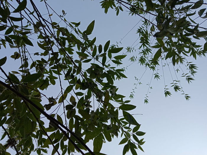 EyeEmNewHere Low Angle View Tree Leaf Nature Sky Branch Day No People Outdoors Beauty In Nature Forest Clear Sky Tree Area Freshness