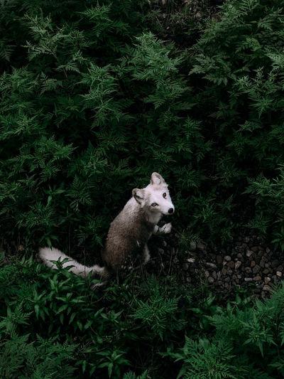 Arctic fox in a bush