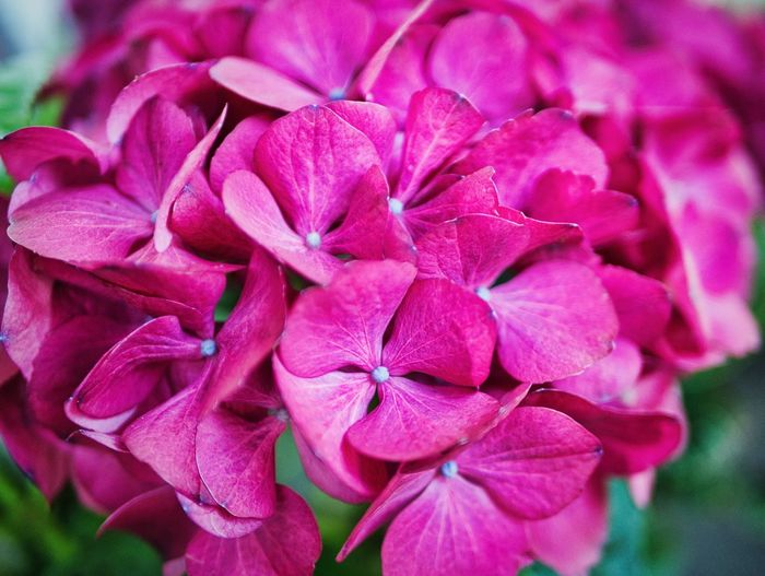 Flower Power Flower Flowering Plant Petal Freshness Plant Vulnerability  Fragility Close-up Beauty In Nature Flower Head Pink Color Growth Nature Day Focus On Foreground Outdoors Bunch Of Flowers