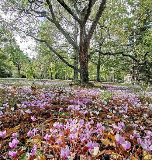 Purple flowering tree in park