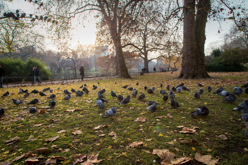 St James's Park, London Animal Themes Animal Wildlife Animals In The Wild Beauty In Nature Bird Day Flock Of Birds Large Group Of Animals Nature No People Outdoors Park Sky St James Park London  Tree Turkey - Bird