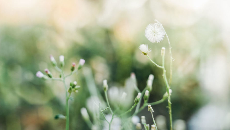 Soft and blur small flowers in garden. Plant Freshness Flowering Plant Flower Fragility Beauty In Nature Growth Close-up Nature No People Green Color Day Outdoors Softness Bright Flower Head Beauty White Color Selective Focus Vulnerability  Soft Focus Field Garden
