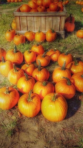 Pumpkin Time. Pumpkin Pumpkinpatch Pumpkin!Pumpkin! Pumpkins Autumn Autumnbeauty Autumn Is Coming Autumn 2016 Autumn Colors Nature Photography Naturephotography Orchards Family Time Nature_perfection Nature Hdr_Collection Hdrphotography Edits