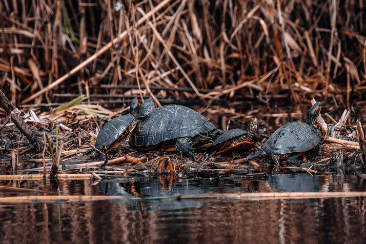 Turtles in the wild Animal Themes Animal Animal Wildlife Animals In The Wild Nature Reptile Turtle No People Vertebrate Day Plant Outdoors Selective Focus Land Water Swamp Reed Nature River Pond Tortoise