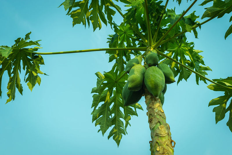 Low angle view of papaya tree against clear sky