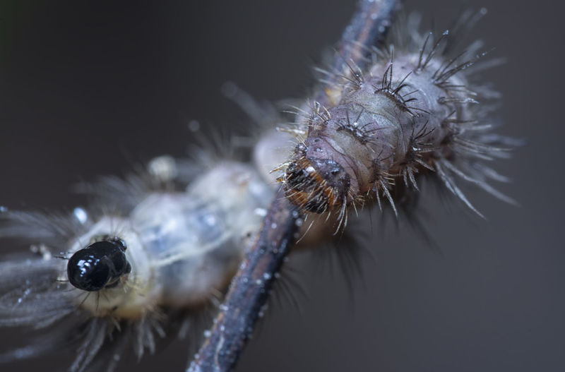 Early stage of tussock moth caterpillar