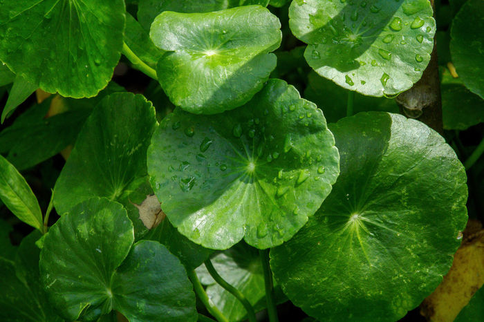 Centella Asiatica Backgrounds Beauty In Nature Centella Asiatica Centella Asiatica Urban Close-up Day Drop Food Food And Drink Freshness Full Frame Green Color Growth Leaf Nature No People Outdoors Plant