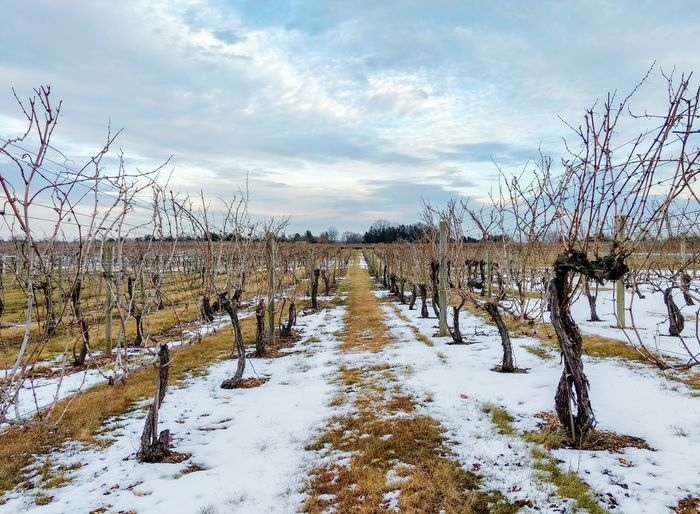 Grape vineyard at Working Dog Winery in NJ in the winter Landscape Landscapes Grape Vine Vines Vineyard Vineyards  Wine Vinyard Winery Wineries Nj New Jersey New Jersey Winery Winter Working Dog Working Dog Winery Winter No People Sky Snow Nature Outdoors Agriculture Vineyard🍇