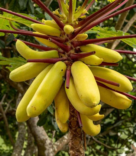 Papaya Papaya