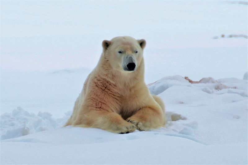 Portrait Of A Polar Bear On Snow