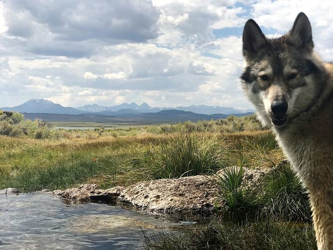 Wolf Wolf Dog Arctic Wolf Timber Wolf One Animal Wildlife Pets Domestic Animals Dog Portrait Wolf In Nature Wild Animal Animals In The Wild Animal Themes Water Cold Spring Mountain Range Mountain Mountains Mountain View Mountains And Valleys Mountain Peak Animal Wildlife Outdoors Nature