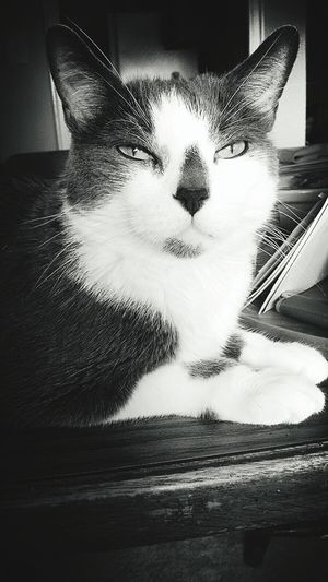 My Beautiful Cat Blk N Wht Spoiled Rotten Blackandwhite Photography Cute Pets