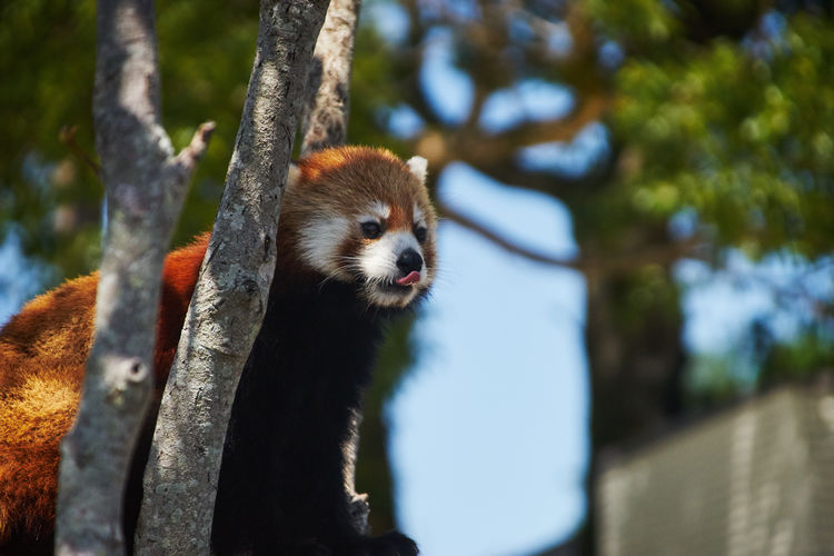 Animal Photography Animal Themes Animals Animals In The Wild Beauty In Nature Branch Day EyeEm Best Shots Focus On Foreground Lesser Panda Looking At Camera Mammal One Animal Outdoors Red Panda Tree Tree Trunk Whisker Wildlife Zoology