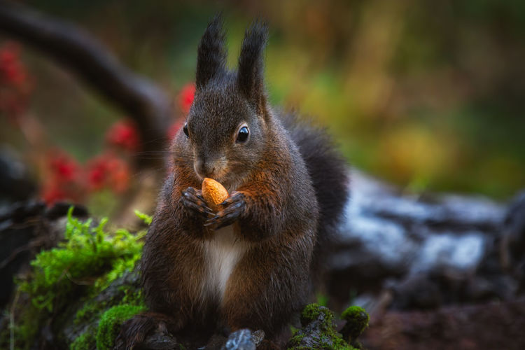 Close-up of squirrel eating fruit