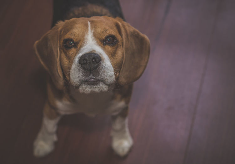 Close-up portrait of dog standing on floor
