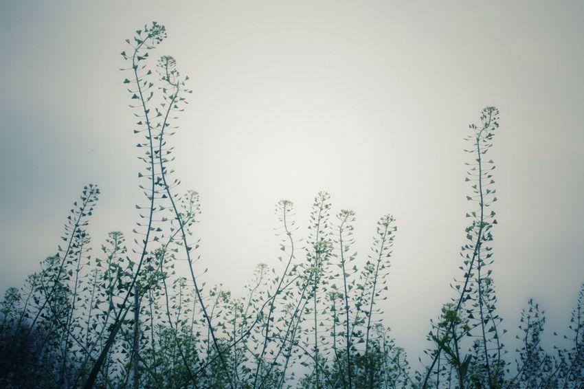 Shepherd Shepherds Flower ぺんぺん草 なずな Monochrome モノクローム