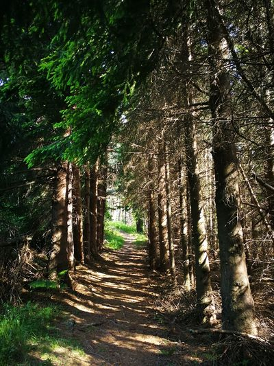 Pinetrees Intothewoods Woods Wild Mountains Rhodopes Tree Bamboo - Plant Forest Tree Trunk Shadow Bamboo Grove Pathway Woods Walkway Branch Growing Sunrays Green
