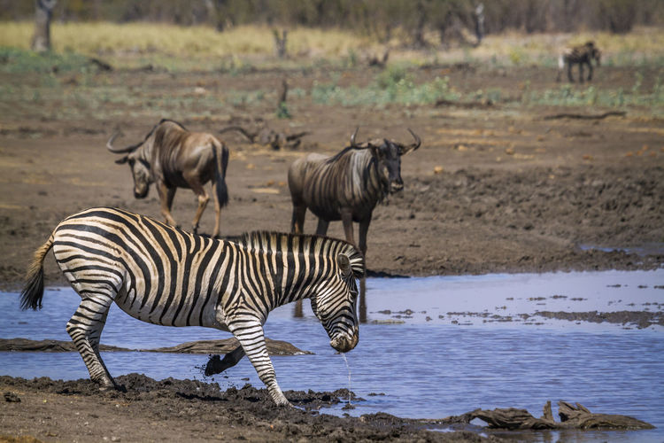 Zebra and wildebeests at national park